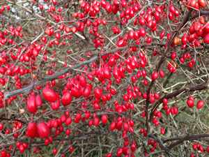 Barberry (Berberis vulgaris)