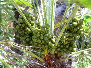Saw Palmetto-fruit